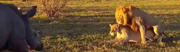 Snimao je lava i lavicu kako se pare, a onda je naišao NOSOROG... (VIDEO)