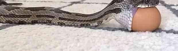 Hipnotizirajuća scena u kojoj zmija guta cijelo jaje ostaviće vas u šoku (VIDEO)