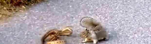 BORBA KAKVU JOŠ NISTE VIDJELI: Hrabra vjeverica brutalno napala zmiju kako bi odbranila svoj dom! (VIDEO)