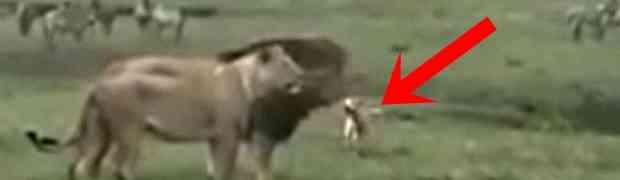 Pas je vidio lavove tokom parenja, a onda im odlučio prići. Nećete vjerovati šta je uslijedilo..