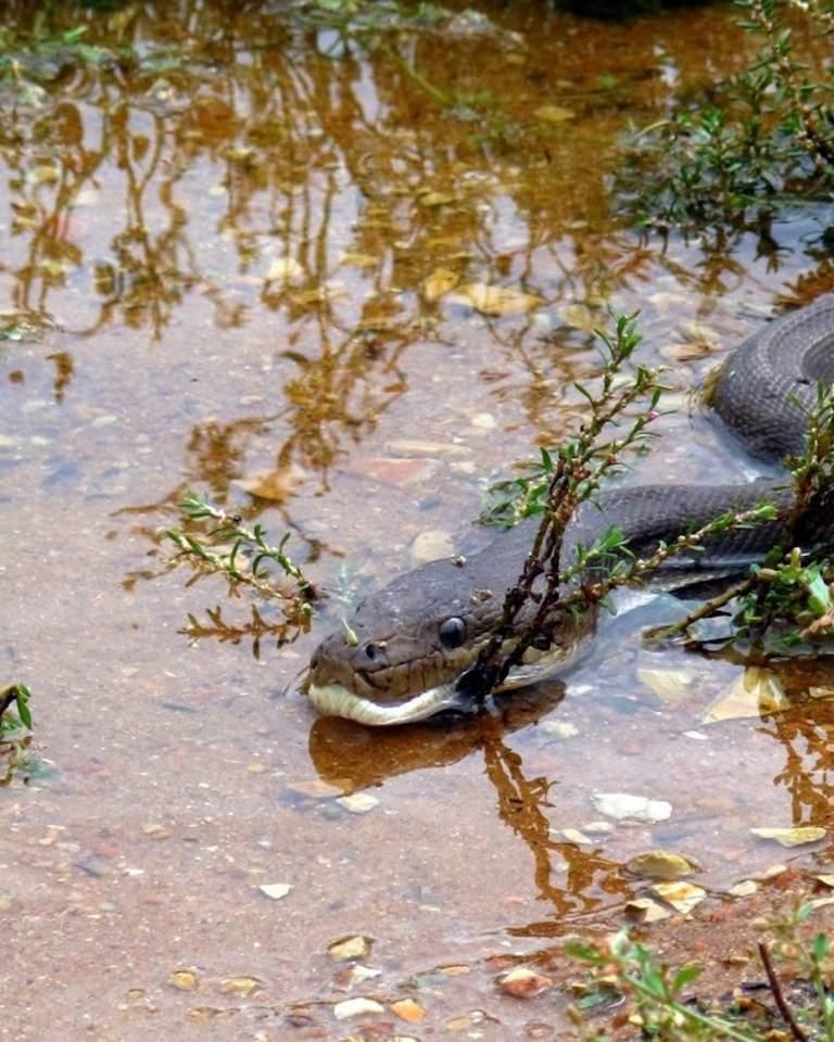 piton-krokodil (1)